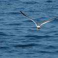 津軽のゴメ1